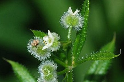 Cleavers: An Herb for Lymphatic Health