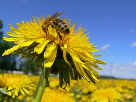 Why Dandelions Are So Dandy – And A Free Recipe