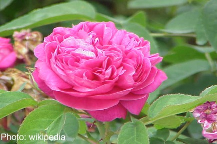 Natural Beauty:Rose Essential Oil Is A Natural Beauty Booster – Plus A Rose 'n Honey Facial Mask