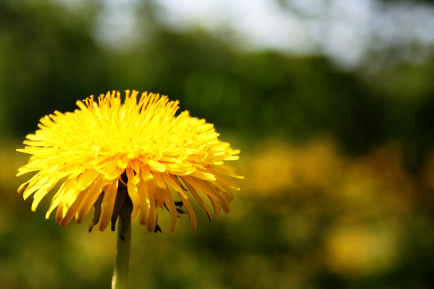 Wild Edible Recipes: Dandelion: Weed Or Nutritional Hero?