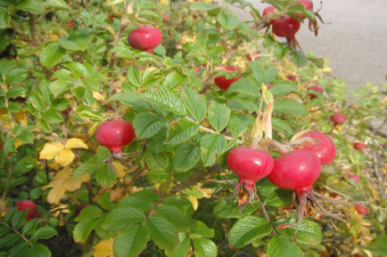 So What's Rosehip And Why Should I Care?