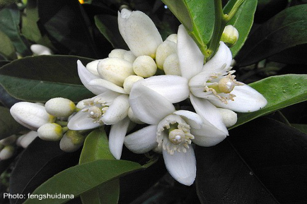 Uplifting And Fragrant, Neroli Calms The Heart